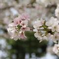 桜_公園 D5276