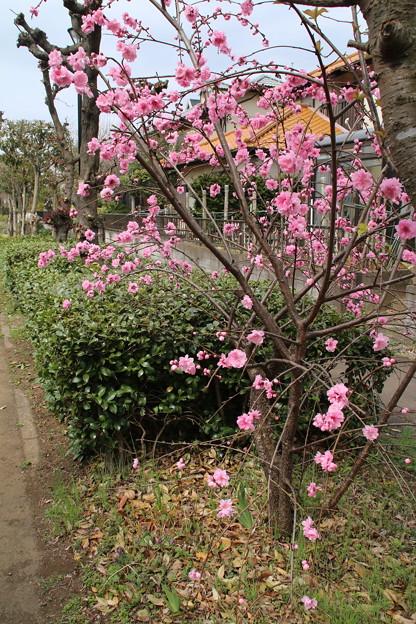 遊歩道の花 D5283
