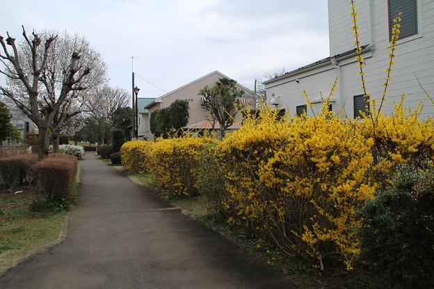 レンギョウ_遊歩道 D5288