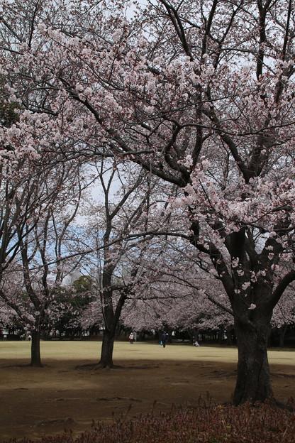Photos: 桜_公園 D5338