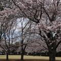 桜_公園 D5338