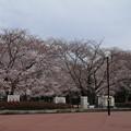 Photos: 桜_公園 D5337