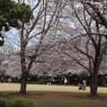 Photos: 桜_公園 D5339