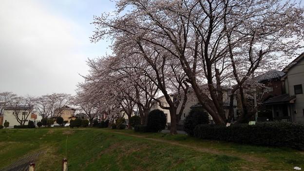 桜_散歩道 K148