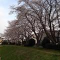 Photos: 桜_散歩道 K148