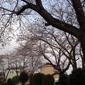 Photos: 桜_公園 K154
