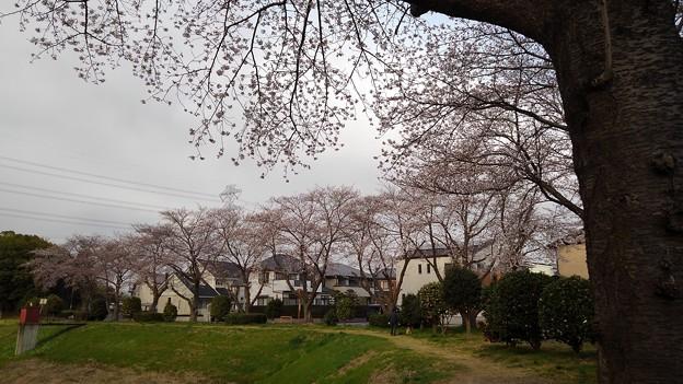 Photos: 桜_公園 K155