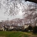 桜_公園 K155