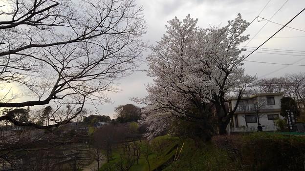 桜_公園 K156