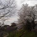 Photos: 桜_公園 K156
