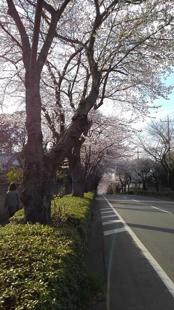 Photos: 桜_散歩 K160