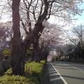 桜_散歩 K160
