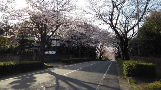 Photos: 桜_散歩 K161