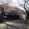 桜_散歩 K161