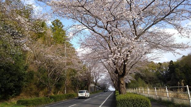 Photos: 桜_散歩 K166