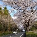 桜_散歩 K166