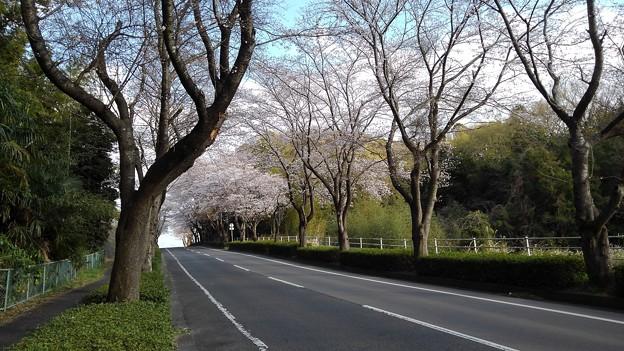Photos: 桜_散歩 K164