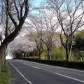 桜_散歩 K164