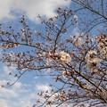 Photos: 桜_散歩 K170