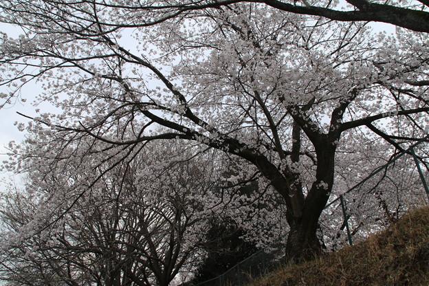 Photos: 桜_散歩道 D5414