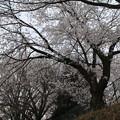 桜_散歩道 D5414
