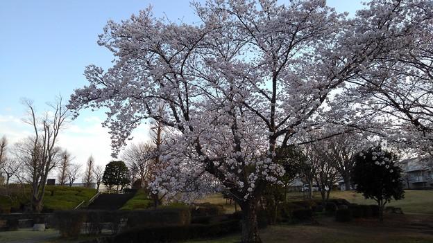 さくら_公園 K178