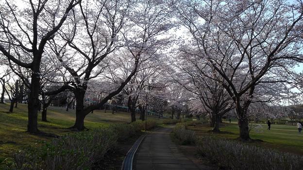 さくら_公園 K183