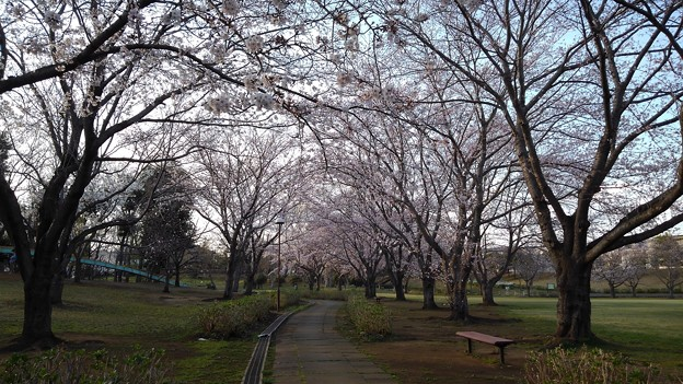 さくら_公園 K184