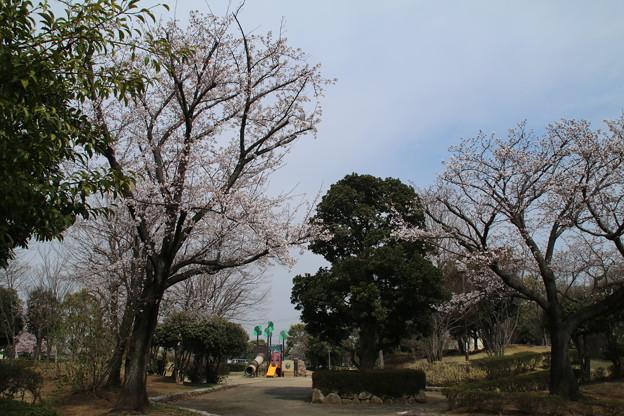 桜_散歩道 D5392
