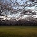 さくら_公園 K187