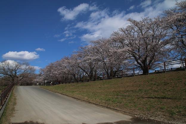 桜_福岡堰 D5340
