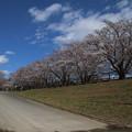 Photos: 桜_福岡堰 D5340