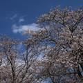 桜_福岡堰 D5341