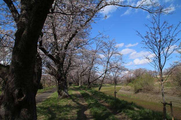 桜_福岡堰 D5343