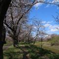 Photos: 桜_福岡堰 D5343