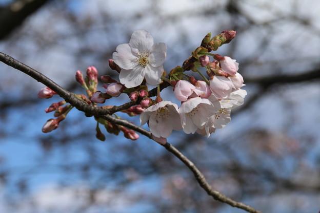 桜_福岡堰 D5345