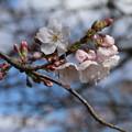 Photos: 桜_福岡堰 D5345