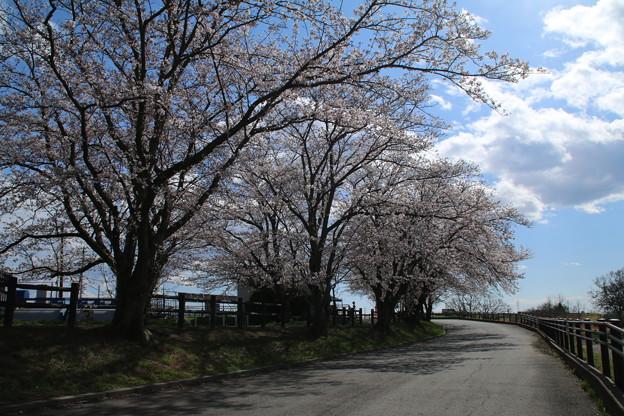 桜_福岡堰 D5342