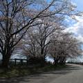 Photos: 桜_福岡堰 D5342