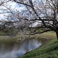 桜_福岡堰 D5346