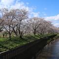 Photos: 桜_福岡堰 D5347