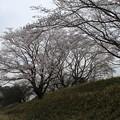 桜_散歩道 D5416