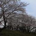Photos: 桜_遊歩道 D5417