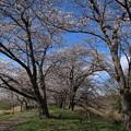 桜_福岡堰 D5348