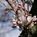 桜_福岡堰 D5349