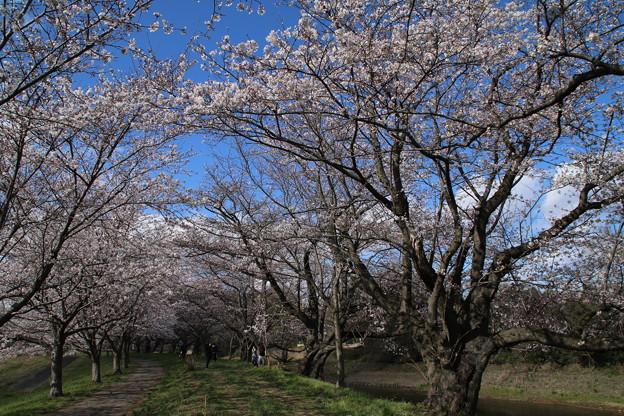 Photos: 桜_福岡堰 D5350