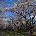 桜_福岡堰 D5350