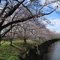 Photos: 桜_福岡堰 D5352
