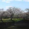 桜_福岡堰 D5353