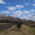 桜_福岡堰 D5354